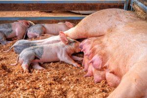 landwirtschaftlichen Helfer Schweinezucht