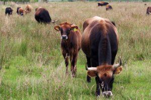 landwirtschaftlicher Helfer Bullenzucht