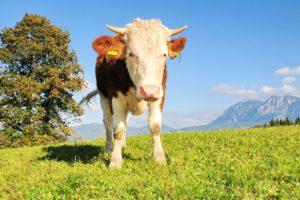 Helfer Bauernhof gesucht – Milchmarkt und Mengensteuerung