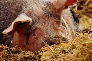 Schweinezucht Helfer – Erfahrung Schweine-Kastration