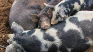 Schweinezucht Helfer
